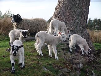 Fun For Lambs